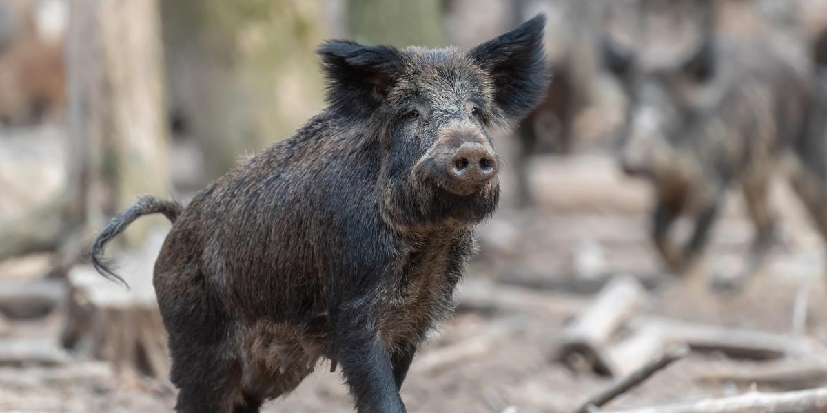 Afrikanische Schweinepest: Erhöhung der Prämie für erlegte Wildschweine in ASP-Restriktionsgebieten